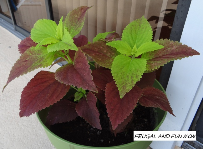 Coleus on the patio