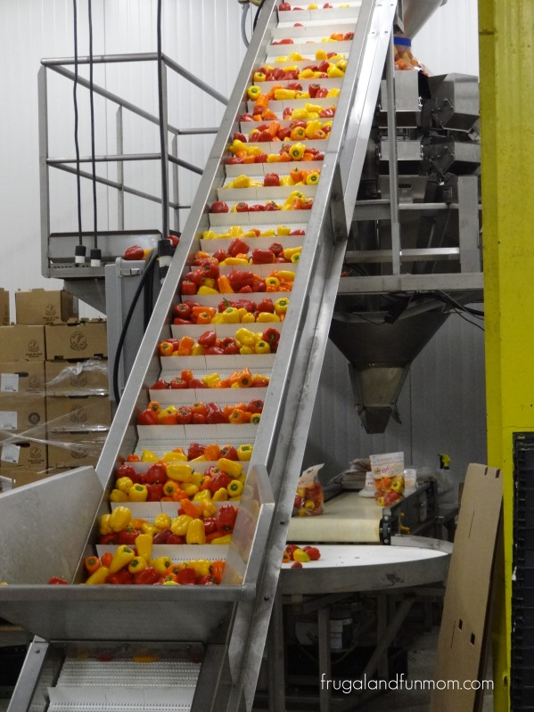 Production-facility-of-Bellafina-Peppers-at-Bailey-Farms