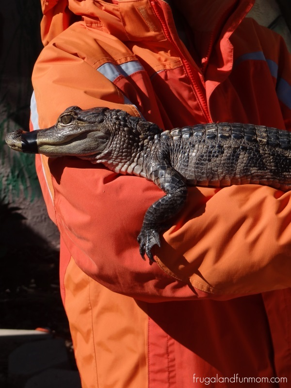 Baby-Alligator-at-Black-Hammock-Airboat-Adventures