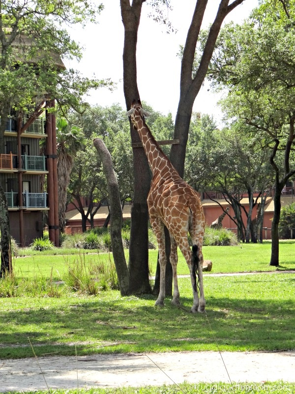 Giraffe Animal Kingdom Lodge