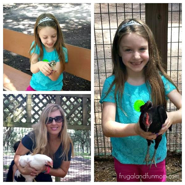 Holding a baby Chicken and Chickens at Green Meadow Petting Farm