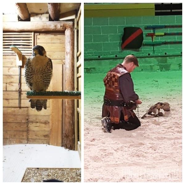 Falcon-in-Action-at-Medieval-Times-Orlando-Florida