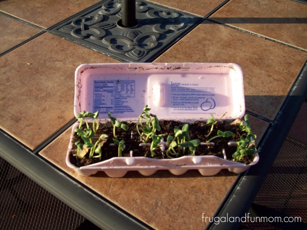 Starting Seeds in an egg carton 2