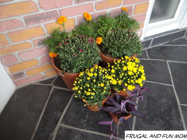 marigolds and mums in terracotta pts