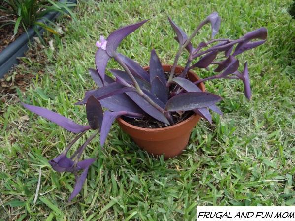 purple queen plant