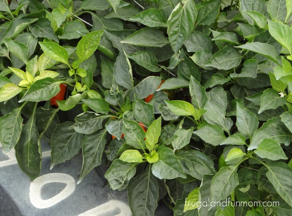 Bellafina-Pepper-Plants