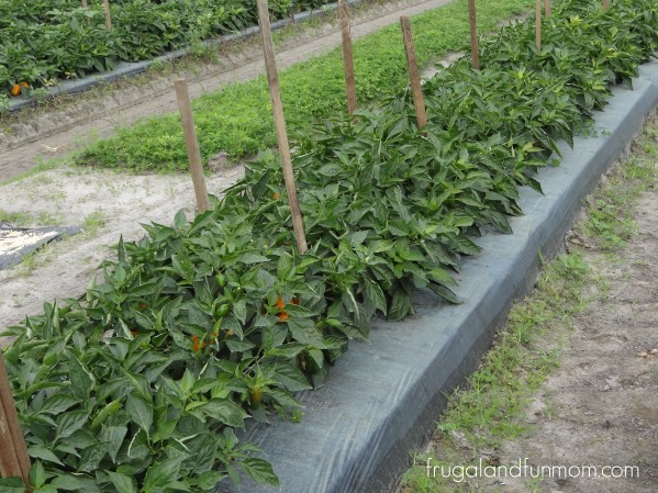 Bellafina-Pepper-Plants-in-the-field-at-Bailey-Farms