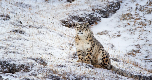 born-in-china-snow-leopard
